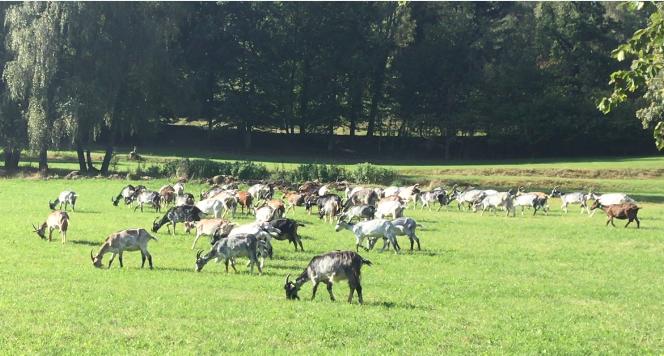 Troupeau de chèvres du GAEC Les biquettes des Merlusses broutant dans un pré